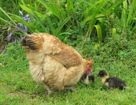 Hen with ducklings she hatched, photograph by Tim Bulkeley.